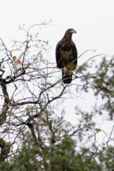This juvenile bald eagle was just one of several birds of prey spotted at the last ranger-lead birding walk at Eastman Lake